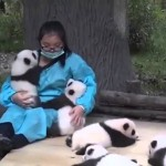SANJSKA SLUŽBA: Ženski plačujejo, da ves dan boža male pande (video)