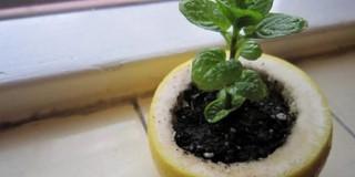 ocistite-limun-i-stavite-novu-biljku-da-se-snabdeva-hranljivim-materijama-iz-limuna-1-696x501