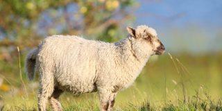 Ovce kot naravne kosilnice