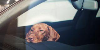 Pes v vročem avtu