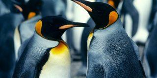 Homoseksualni pingvinji par